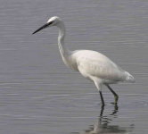 Little Egret - 0459