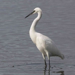 Little Egret - 0461