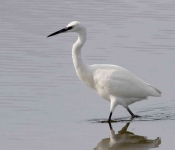 Little Egret - 0463