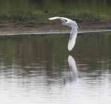 Little Egret - 0466