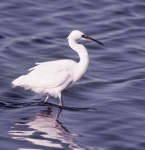 Little Egret - 4