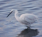 Little Egret - 40016