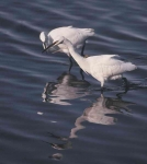 Little Egret - 40022