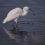 Little Egret - 40031