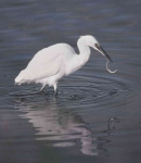 Little Egret - 40034