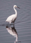 Little Egret - 50035