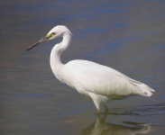 Little Egret - 6771