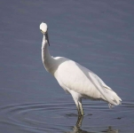 Little Egret - 6772