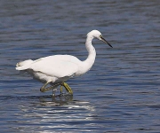 Little Egret - 6830