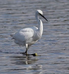 Little Egret - 6833