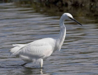 Little Egret - 6836