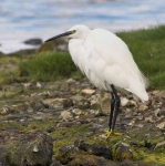 Little Egret - 6856