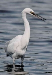 Little Egret - 69101