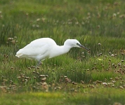 Little Egret - Ross Carberry-Eire - 5935