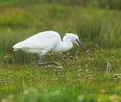 Little Egret - Ross Carberry-Eire - 5944