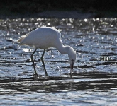 Little Egret fishing - 6113