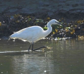 Little Egret fishing - 6149