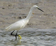 Little Egret fishing - 6210