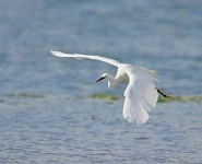 Little Egret flying - 6084