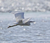 Little Egret flying - 6126
