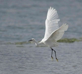 Little Egret taking off - 6083