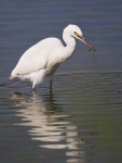 Little Egret with Pipefish - 6770