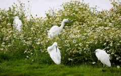Little Egrets resting - 6778