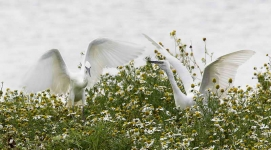 Little Egrets resting - 6782