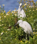 Little Egrets resting - 68961