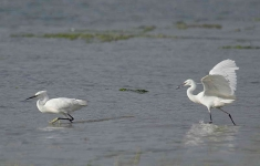 Little Egrets spat - 6080
