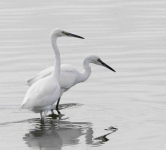 Little Egrets x 2 - 0420