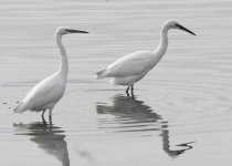 Little Egrets x 2 - 0421