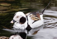 Long Tailed Duck - 7326