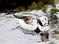 Long Tailed Duck - 7335