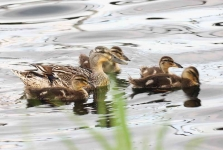 Mallard Duck and duckling - 7345