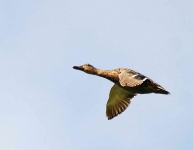 Mallard duck in flight - 8692