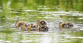 Mallard ducklings - 2974