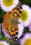 Painted Lady Butterfly - 0341