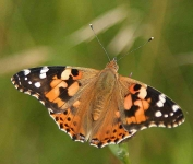 Painted Lady Butterfly - 9558