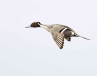 Pintail flying - 7475