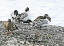 Pintails - 2807