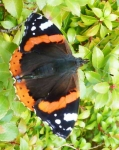 Red Admiral - 039