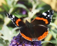 Red Admiral Butterfly - 0453