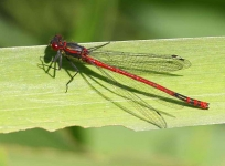 Red Damsel fly2704