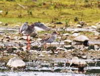 Redshank courting - 1134