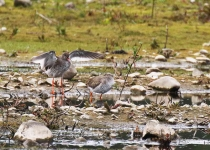 Redshank courting - 1132