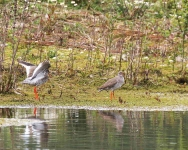 Redshank courting - 1140