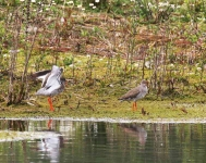 Redshank courting - 1139
