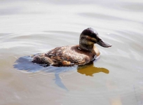 Ruddy Duck - 1349