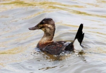 Ruddy Duck - 1354